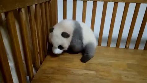 hour  cheng shi  grey panda youtube