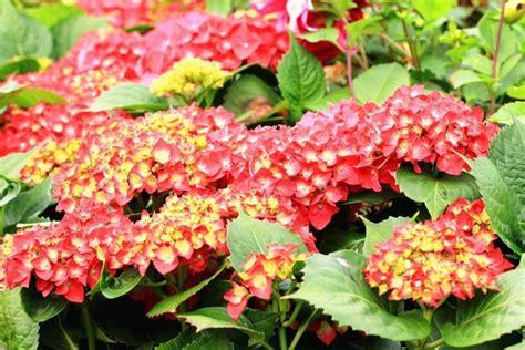 come coltivare le ortensie in vaso le ortensie fiori coltivare le ortensie