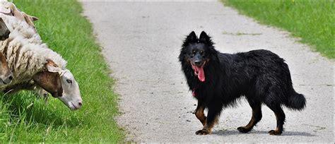 foto de quot alt deutsche hutehund quot hansf - Alt Deutsche Hutte Hond