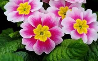 Images Of Magnolias Flowers - pr 237 mulas