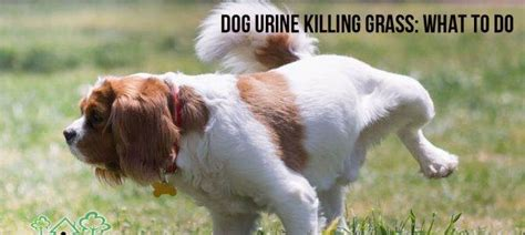 urine killing grass lifestyle pets all for paws