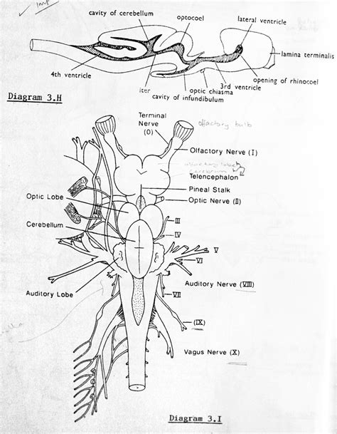 shark brain diagram shark brain lab manual drawing