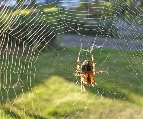 What Is A Uk Garden Spiders Habitat Sutton Nature Helping Wildlife On Sutton S Doorstep