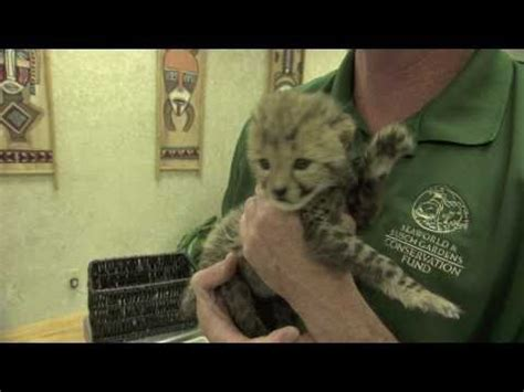 Baby Cheetah Cub To Become Part Of Busch Gardens Cheetah | baby cheetah cub to become part of busch gardens cheetah