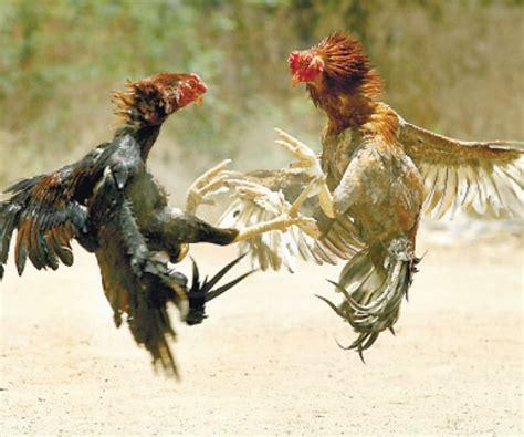 razas de gallos que se juegan en mexico la venganza del se 241 or de los gallos la tarde