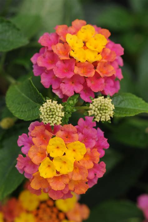 lantana colors all the dirt on gardening lantana camara