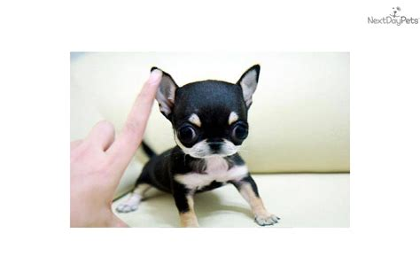 teacup chihuahua puppies for sale near me chihuahua puppy for sale near richmond virginia d91b4d37 7b21