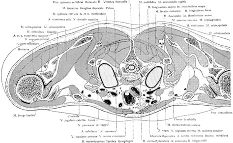 cross section of lung cross section of the trunk through the lungs clipart etc