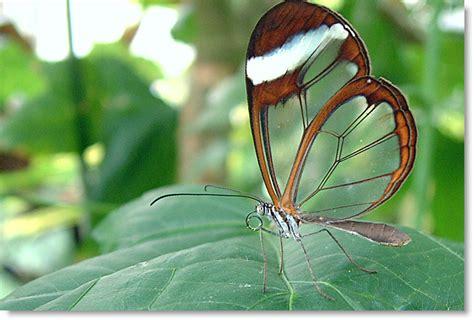 imagenes mariposas de cristal mariposa de cristal ilmaistro com