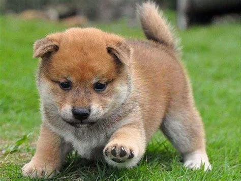 shiba inu puppies of the jungle shiba inu puppies
