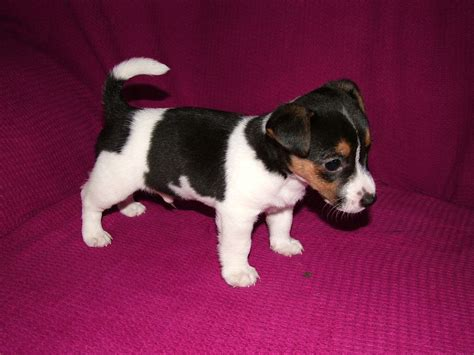 5 in 1 puppy 5 beautiful jackhuahua puppies only 1 left now rossendale lancashire pets4homes