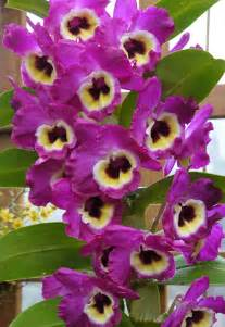 Hawaiian Flowers For Sale - the orchid column where do i cut my dendrobium after it