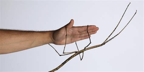 giant stick insect babies in world first captive breeding program at museum victoria