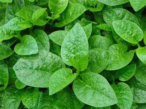 Green leaves herbal vegetable   Stock Photo   Colourbox