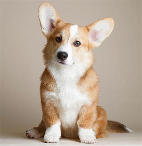 the corgis 25 best ideas about corgi dog on pinterest corgi