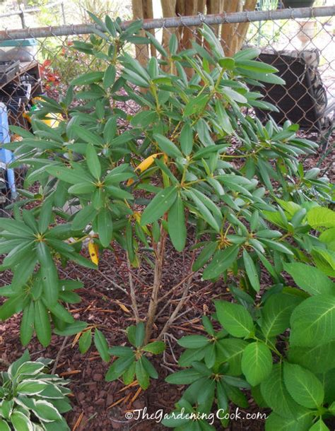 where to plant rhododendron sun or shade 28 images