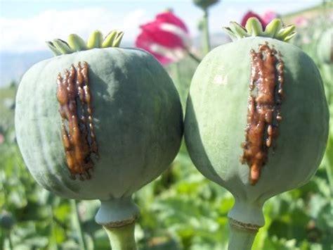 Opium by Opium Oxidation