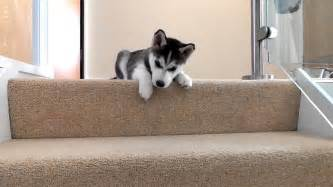 Puppy On Stairs by Husky Puppy Trying To Walk Down Stairs Youtube