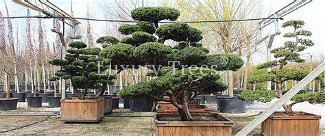Garten Gestalten Mit Eiben by Taxus Cuspidata Bonsai Gartenbonsai 187 Luxurytrees