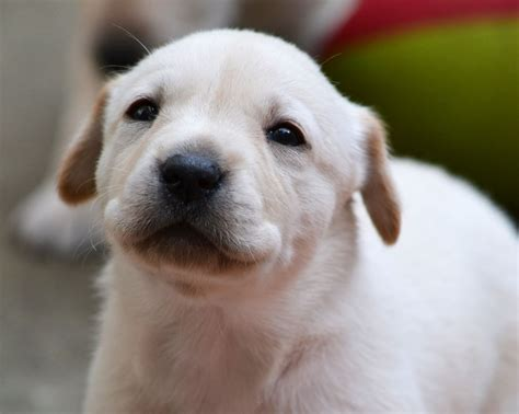 labrador puppies and dogs for sale pets classifieds yellow labrador puppies for sale aboyne aberdeenshire