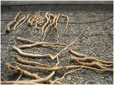 Ginseng Di Malaysia creating the petrosains mengenali tongkat