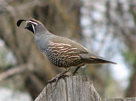 california quail facts anatomy diet habitat behavior