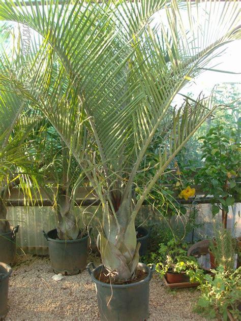 palme in vaso dypsis decaryi in vaso balestrate pa guida sicilia