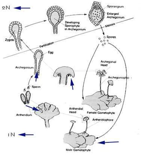 liverwort cycle diagram liverwort cycle animation www pixshark images