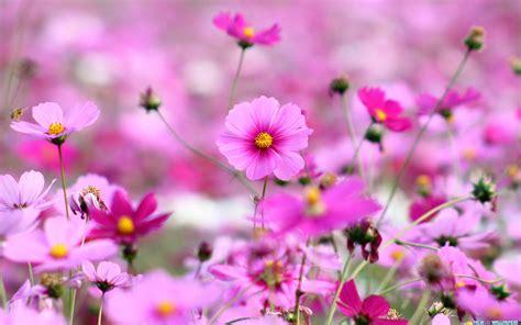beautiful flowers wallpapers latest news beautiful purple flowers hd desktop wallpaper wallpapers