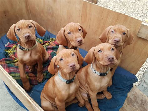 vizsla puppies price kc reg hungarian vizsla puppies price reduced shrewsbury shropshire pets4homes