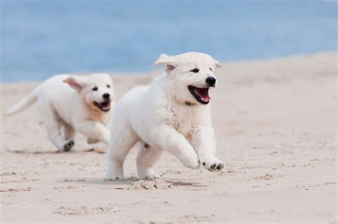 animal puppy wallpaper puppy white animal pet sand sea animals 1611