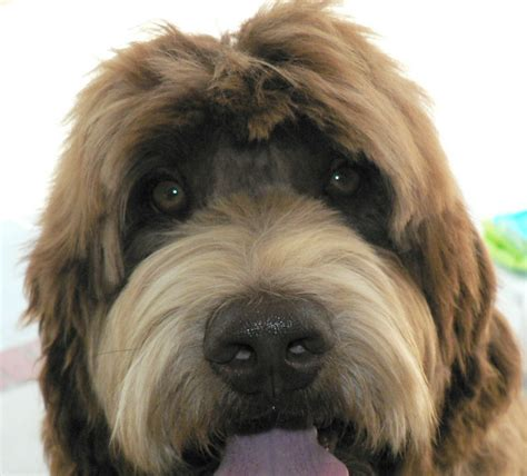 face hairstyle goldendoodle royal diamond labradoodles grooming face on a wavy