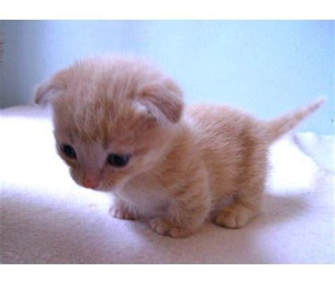 17 Best ideas about Munchkin Kitten on Pinterest