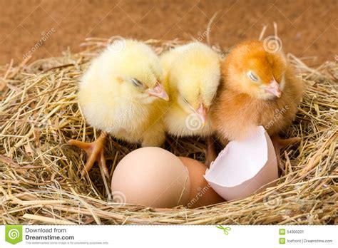 imagenes de animales naciendo 在巢的小的新出生的鸡与蛋壳 库存照片 图片 54300201