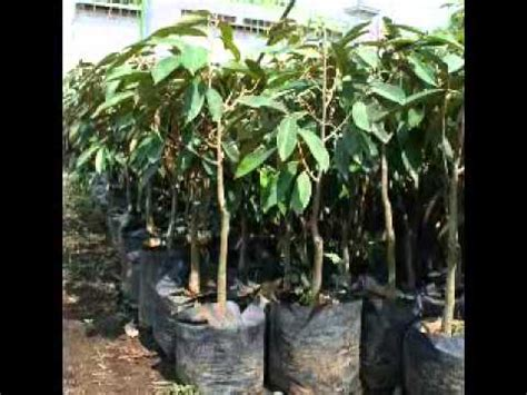 Jual Bibit Bebek Klaten jual bibit durian di hub 0812 160 5732