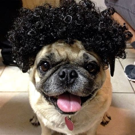 pug with wig the most fabulous pug wig model