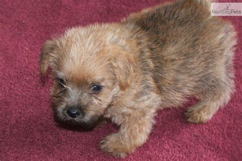 norfolk terrier puppies for sale pin norwich terriers for sale page on