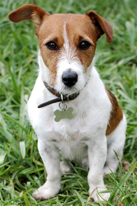 russel terrier puppy facts you should about terriers myterrierdog info