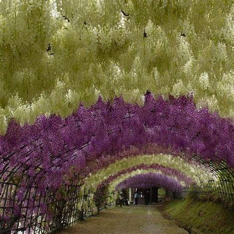 wisteria flower tunnel japan wisteria tunnel kawachi fuji gardens in kitakyushu