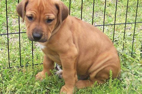ridgeback puppies for sale rhodesian ridgeback puppies for sale design bild
