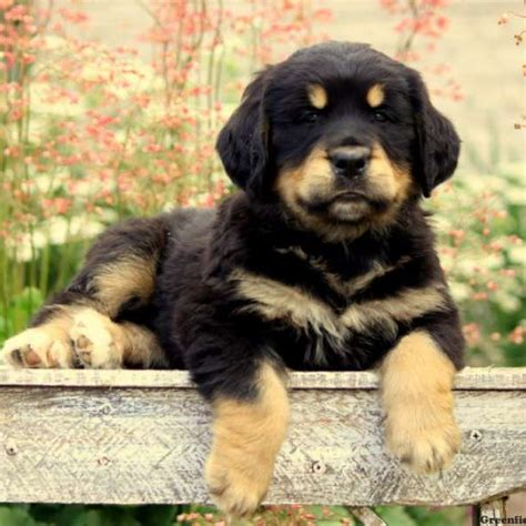 bernese golden retriever puppies bernese golden mountain puppies for sale greenfield puppies