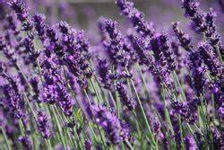 lavendel anbauen  wirds gemacht