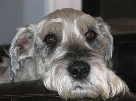 Standard Schnauzer Shedding by Schnauzer Mediano Razas Perros Mascotas