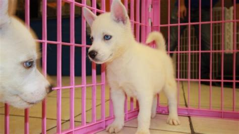 husky puppies for sale in ga gorgeous white siberian husky puppies for sale in near atlanta ga at puppies