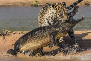 Jaguar Hunts Crocodile Today At Big Cat Rescue Sept 6 2013 Big Cat Rescue