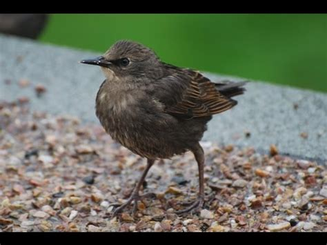 how to take care of a baby starling care sheet youtube