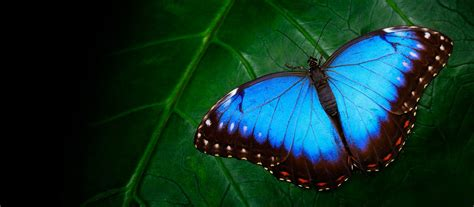 Butterfly Symbolism And Meaning In World Culture Shop Lc Butterfly Meanings