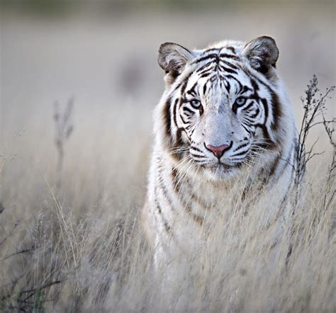 top 25 ideas about tiger on white 25 best white tiger photographic meowlogy