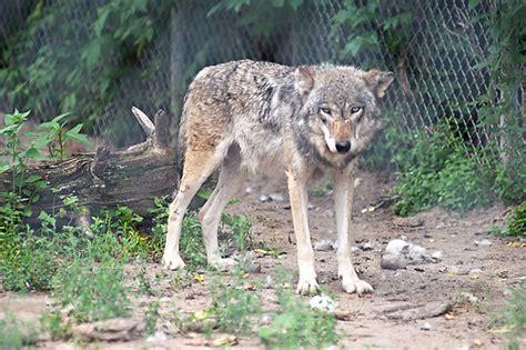coyote hybrid coyote wolf hybrid flickr photo