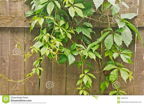 plants that climb fences green climbing plants on wooden fence stock photo